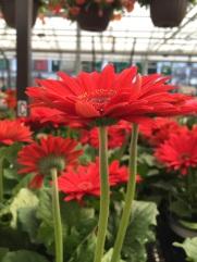 Reddest Daisy